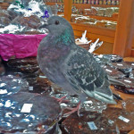 pigeon in the candy shop